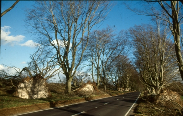 This is the Beech Avenue at Kingston Lacy. Many were blown over in the great storm
