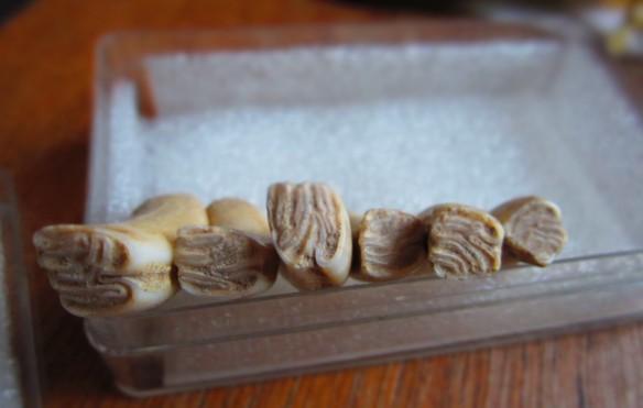 Wavy Beaver teeth