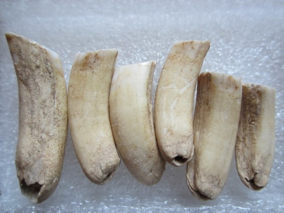 Beaver molars all in a row