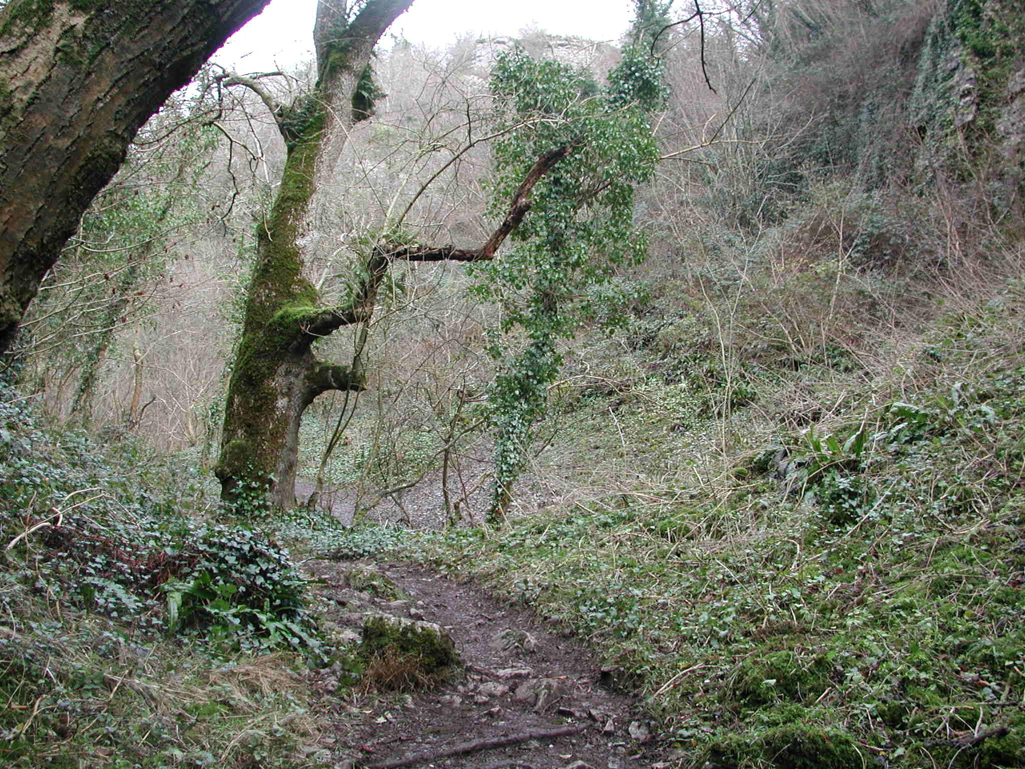 The woodland path into Ebbor Gorge.
