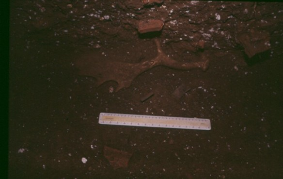 The deer park ditch filling contained evidence of an earlier hunting lodge that was demolished in the 15th century.  Here is one of the fallow deer antlers that demonstrated Lodge Farm's link with the medieval deer park. There are also fragments of medieval cooking pot and clay roof tiles visible.