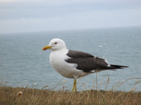 A Lesser Black-backed Gull, looking for food